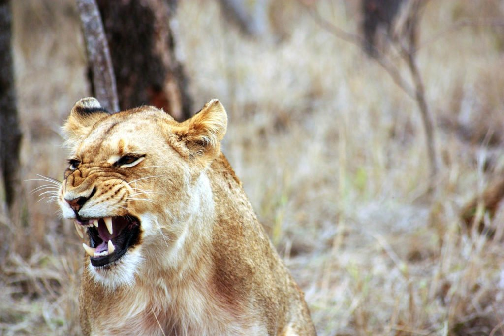 angry_lioness