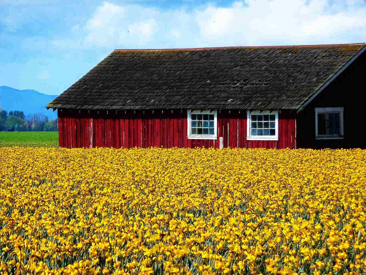 new-life-daffodils