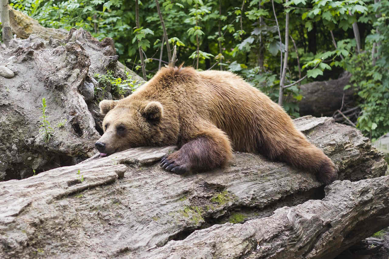 sloth_bear